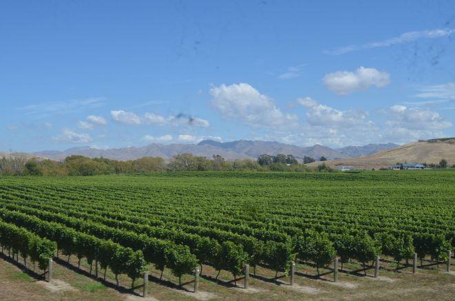 Vineyards, close to Blenheim