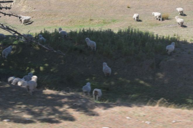 Sheep grazing on the farm lands