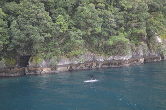 Fur seals basking on the rocks and dolphin in the waters of Milford Sound
