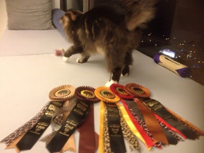 Bossa in action in the ring, his wins and the rosette collection.